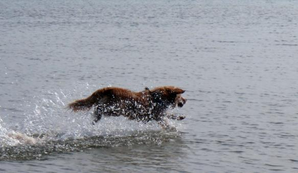 Toller in the Lake - Free Stock Photo
