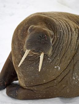 Walrus Closeup - Free Stock Photo