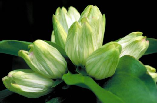 White Gentian - Free Stock Photo
