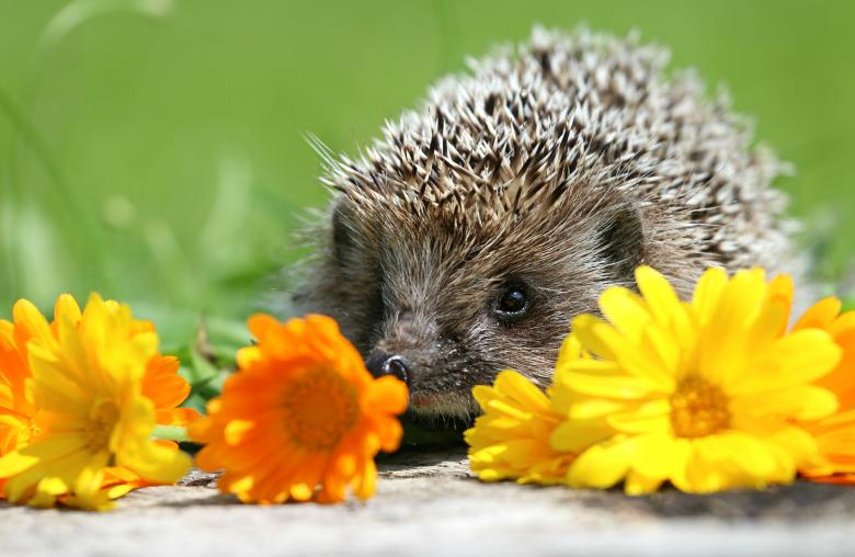 Free Stock Photo of Funny hedgehog Created by svklimkin