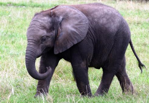 Baby African Elephant - Free Stock Photo