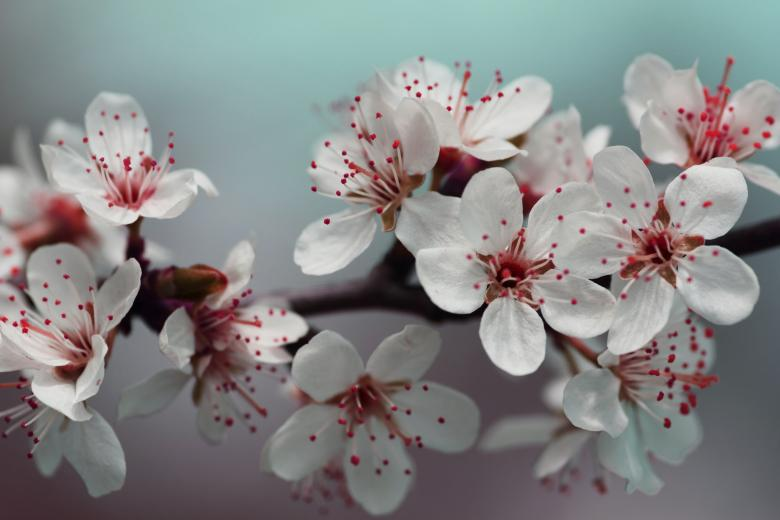 Red Springtime Blossom - Free Floral Backgrounds
