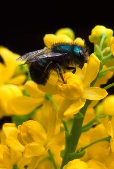 Bee Pollinating - Free Stock Photo