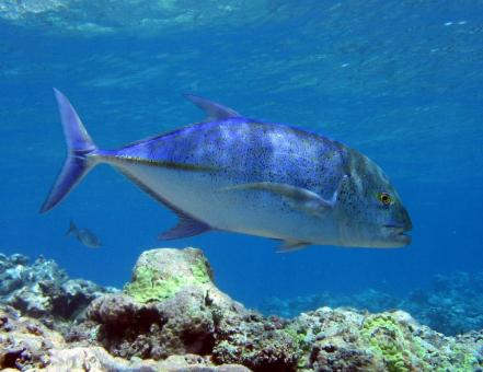 Bluefin Trevally - Free Stock Photo