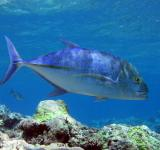 Free Photo - Bluefin Trevally