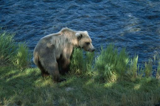 Brown Bear Hunting - Free Stock Photo