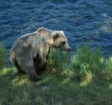Free Photo - Brown Bear Hunting