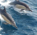 Free Photo - Common Dolphins