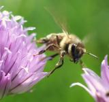 Free Photo - Honeybee Pollinating