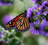 Free Photo - Monarch Butterfly on the Flowers