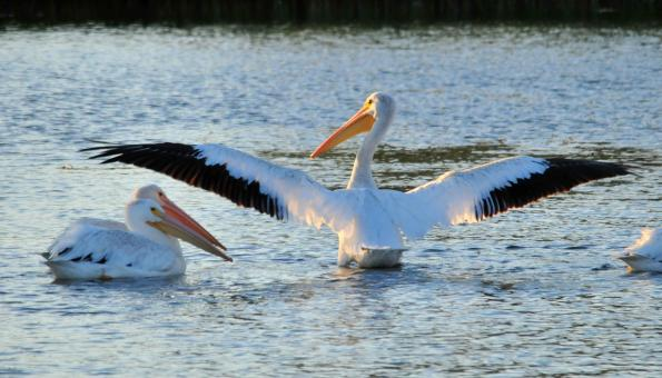 American White Pelicans - Free Stock Photo