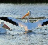 Free Photo - American White Pelicans
