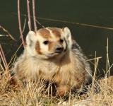 Free Photo - Wild Badger