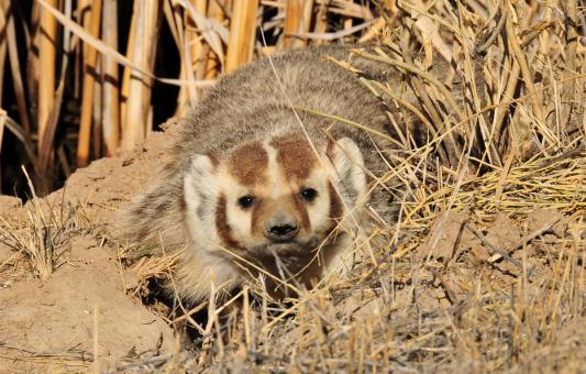 Badger Trying to Hide - Free Stock Photo