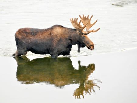 Bull Moose in the River - Free Stock Photo