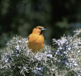 Free Photo - Bullocks Oriole