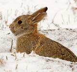 Free Photo - Cottontail Rabbit