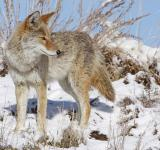 Free Photo - Coyote in Winter