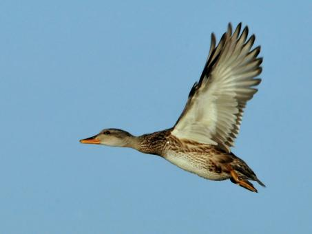 Gadwall Flying - Free Stock Photo