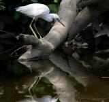 Free Photo - Little Blue Heron