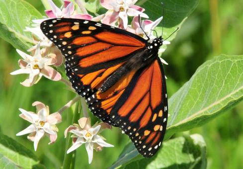 Monarch Butterfly on the Flower - Free Stock Photo