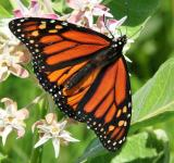 Free Photo - Monarch Butterfly on the Flower
