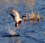 Free Photo - Northern Shoveler