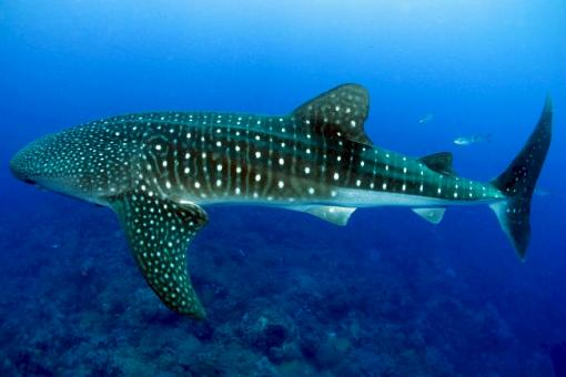 Whale Shark - Free Stock Photo