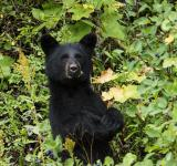 Free Photo - Black Bear