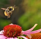 Free Photo - Bumblebee on the Flower