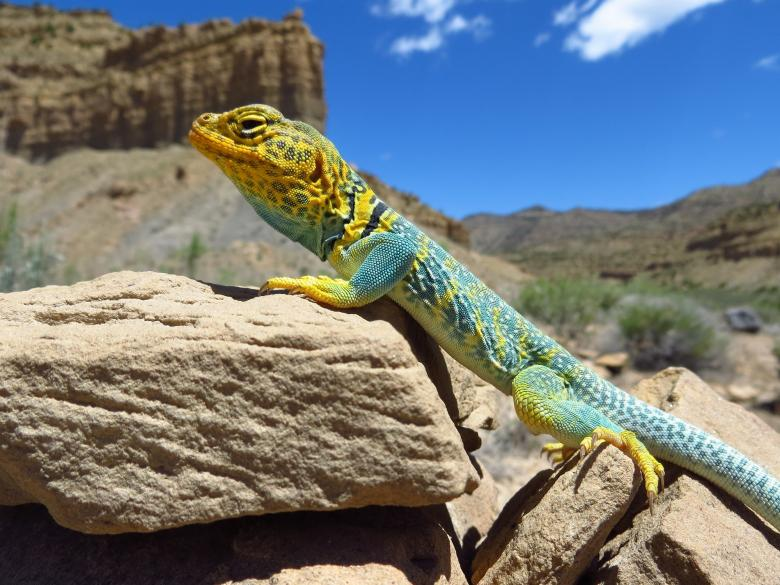 Free Stock Photo of Collared Lizard Created by Pixabay