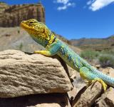Free Photo - Collared Lizard
