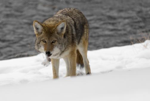 Wild Coyote - Free Stock Photo