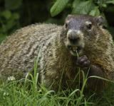 Free Photo - Wild Groundhog