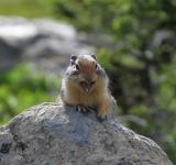 Free Photo - Ground Squirrel