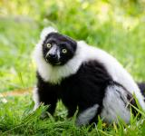 Free Photo - Lemur in the Zoo