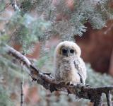 Free Photo - Mexican Spotted Owl