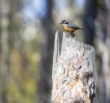 Free Photo - Red Breasted nuthatch
