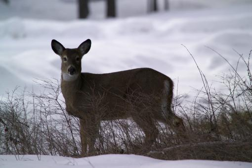White Tailed Deer - Free Stock Photo