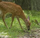 Free Photo - White Tailed Deer