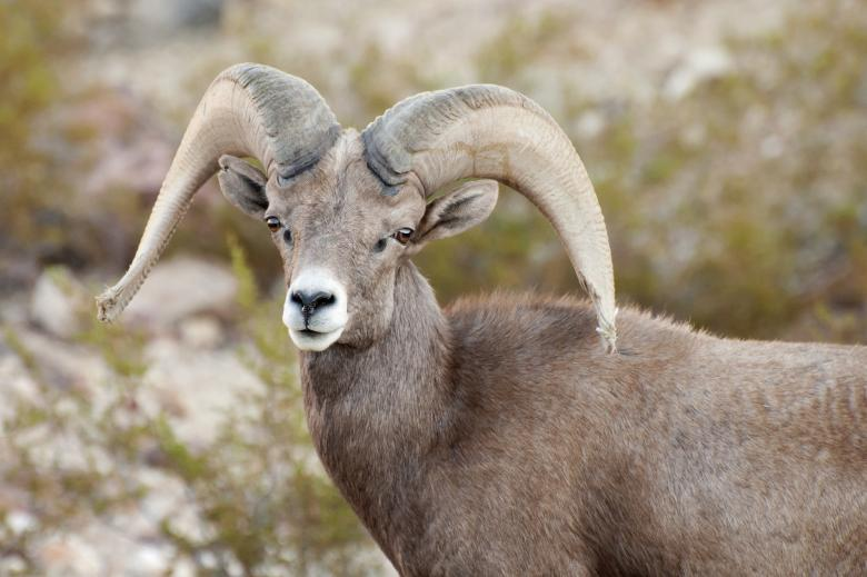 Free Stock Photo of Bighorn Sheep Created by Pixabay