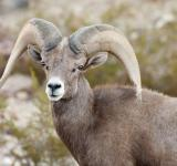 Free Photo - Bighorn Sheep