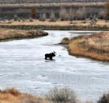 Free Photo - Bull Moose in the River