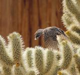Free Photo - Cactus Wren