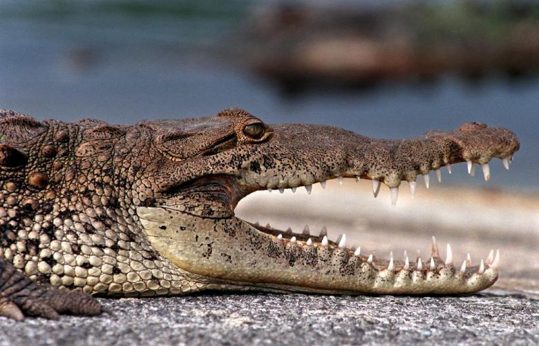 Free Stock Photo of Wild Croc Created by Pixabay