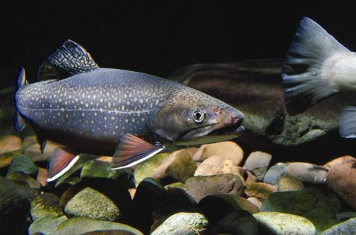 Eastern Brook Trout - Free Stock Photo