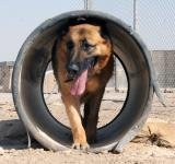 Free Photo - German Shepherd