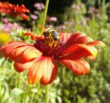 Free Photo - Honey Bee Pollinating