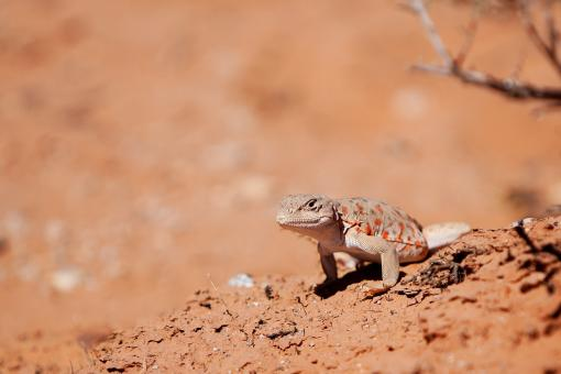Long Nosed Leopard Lizard - Free Stock Photo