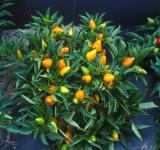 Free Photo - Orange Pepper Plants